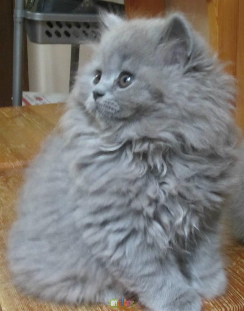 пушистые котята. британская длинношерстная порода.